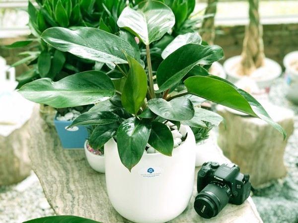 Top 3 loại cây phong thủy phát tài nên đặt trên bàn thờ tổ tiên