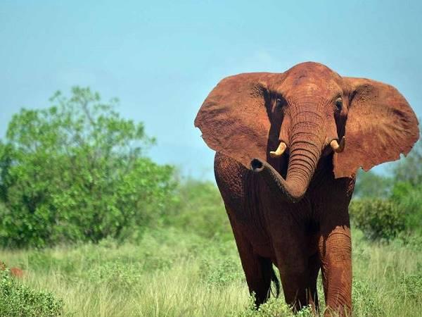 Nằm mơ thấy con voi là điềm báo gì, đánh số mấy?